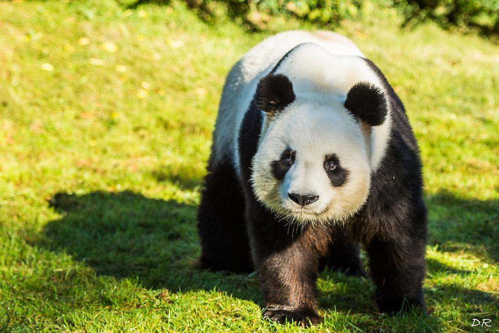 Denise - Panda