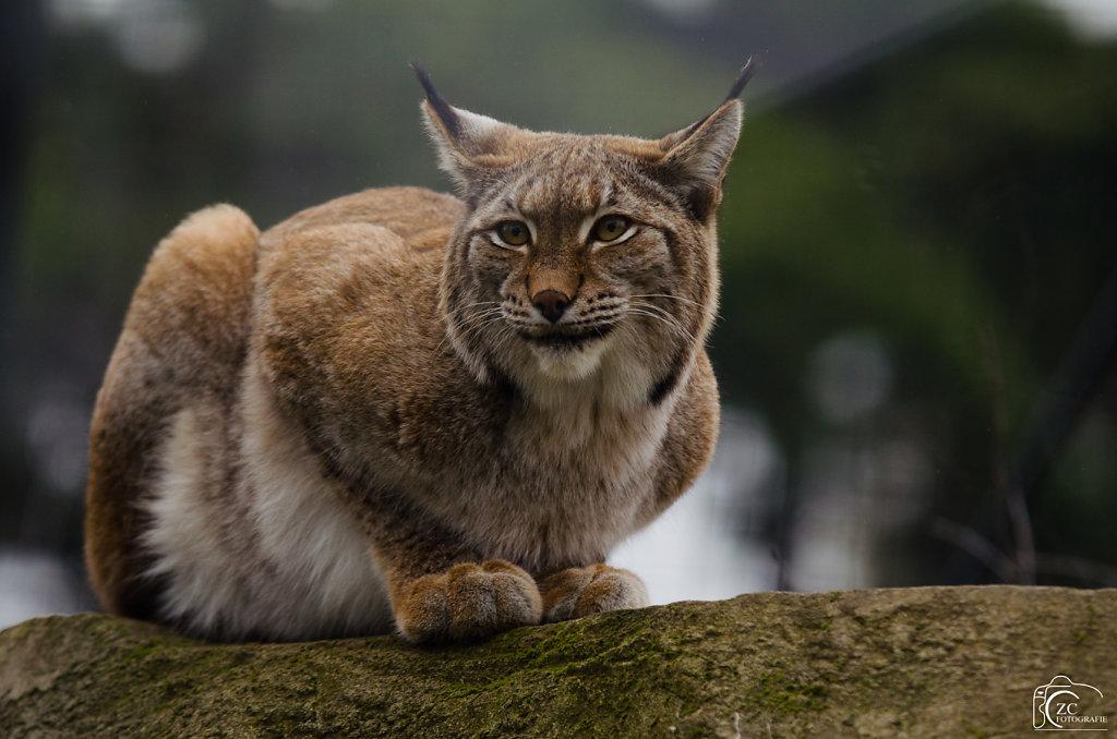 Zakaria - Lynx