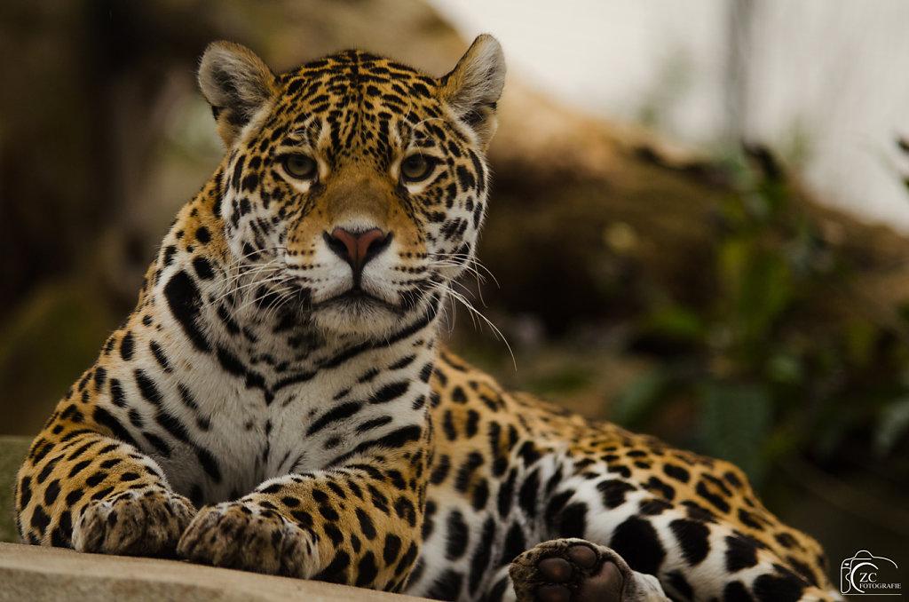 Zakaria - Curious Panther